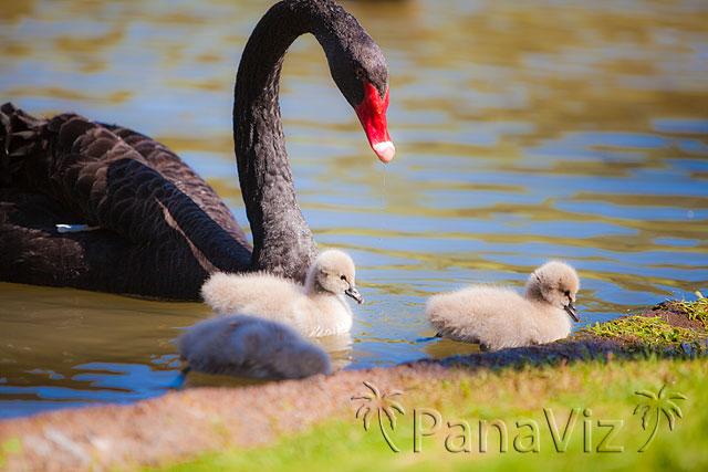 Black Swan and Cygnets at KoOlina